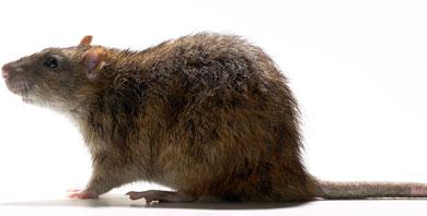 NORWAY-RAT-1