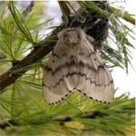 Adult Female Moth